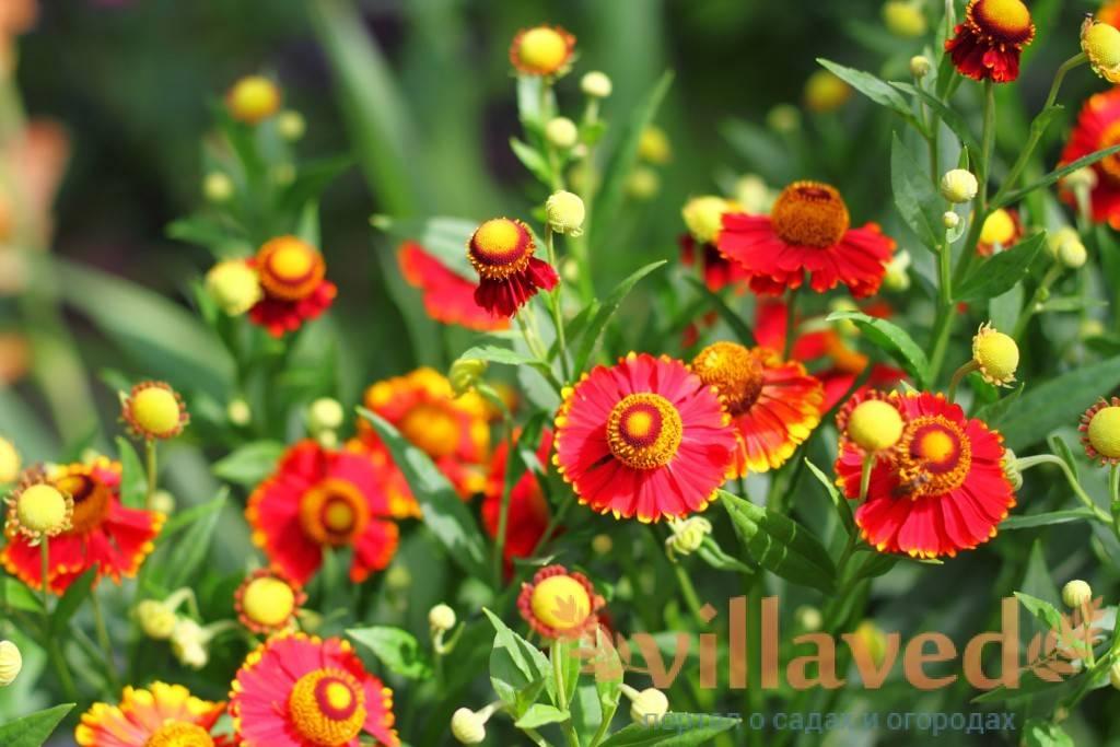 Особенности выращивания гелениума многолетнего: посадка и уход, фото, сортовое разнообразие растения