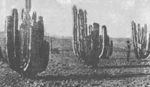 Опунция кактус — сорта, уход в домашних условиях