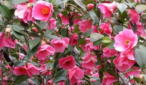 Цветок камелия: фото, секреты по уходу в домашних условиях