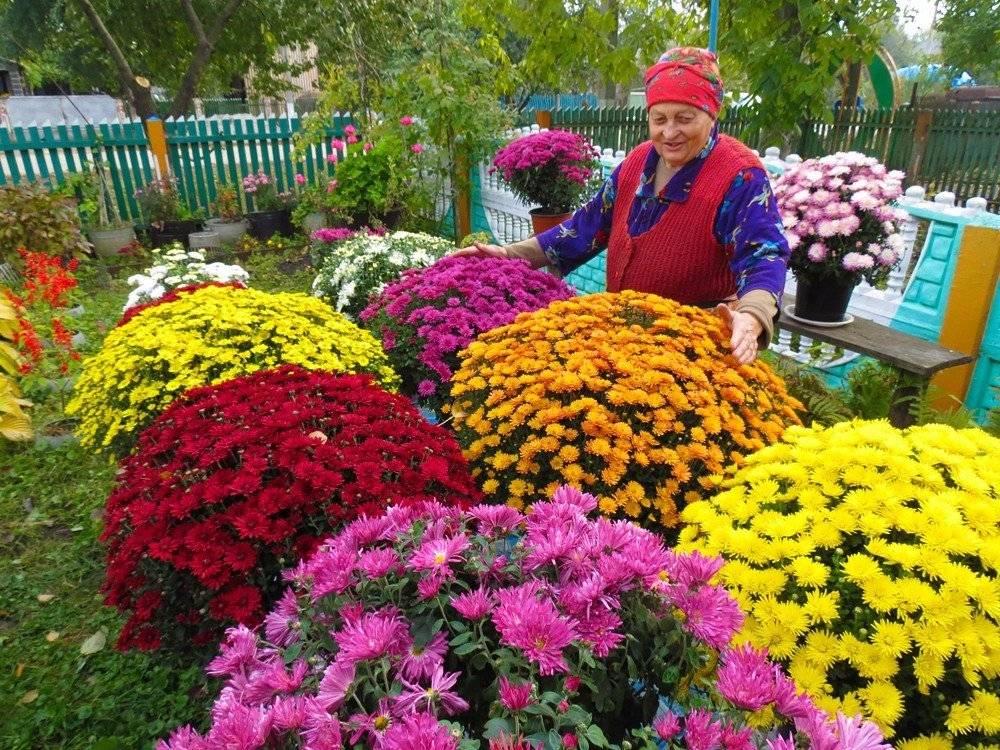 Хризантемы шаровидные: посадка, зимовка, размножение, выращивание и уход