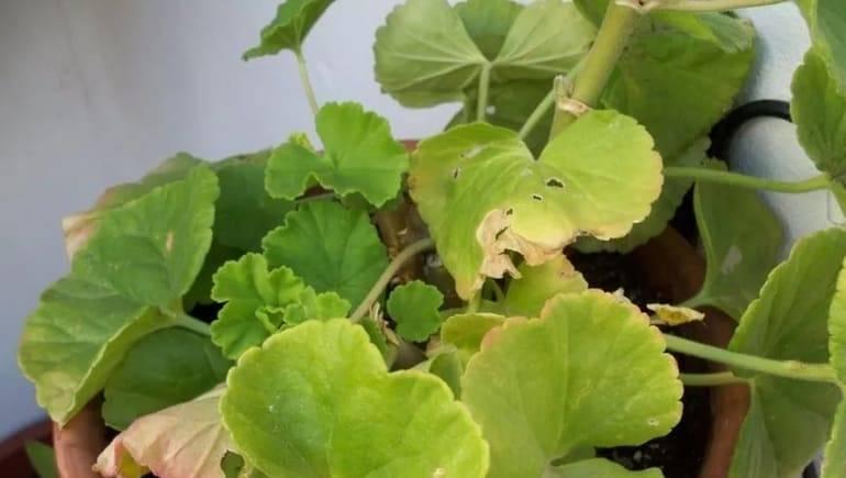 Желтеют листья у герани: почему это происходит и что делать?