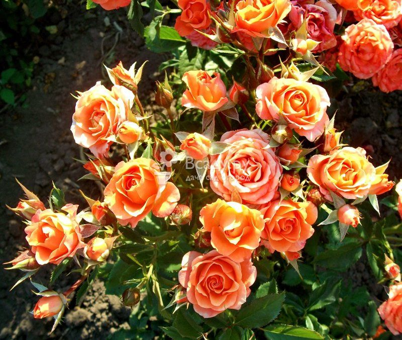 Уход за розами весной после зимы в открытом грунте: видео инструкция по обрезке, подкормке и обработке от вредителей