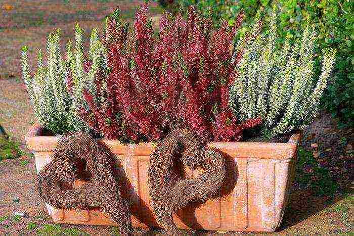 Шотландский вереск, вересковые поля фото. символ шотландии вереск — кустарник бессмертия западный корнуолл, pordenack point