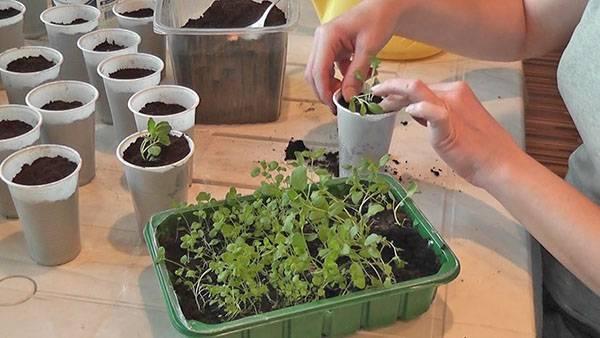 Бергамот садовый посадка и уход в открытом грунте размножение