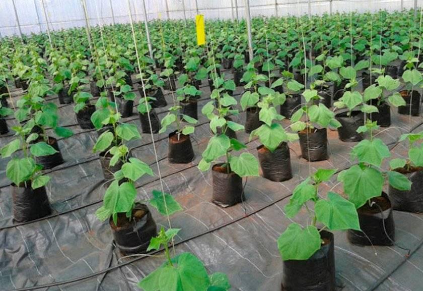 Как сажать и выращивать огурцы в мешках пошагово