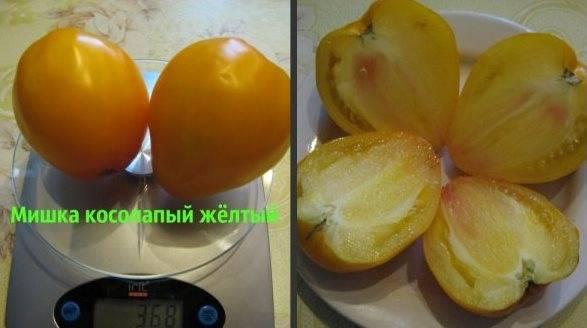 Великолепный сорт — томат «мишка косолапый»: описание, особенности выращивания