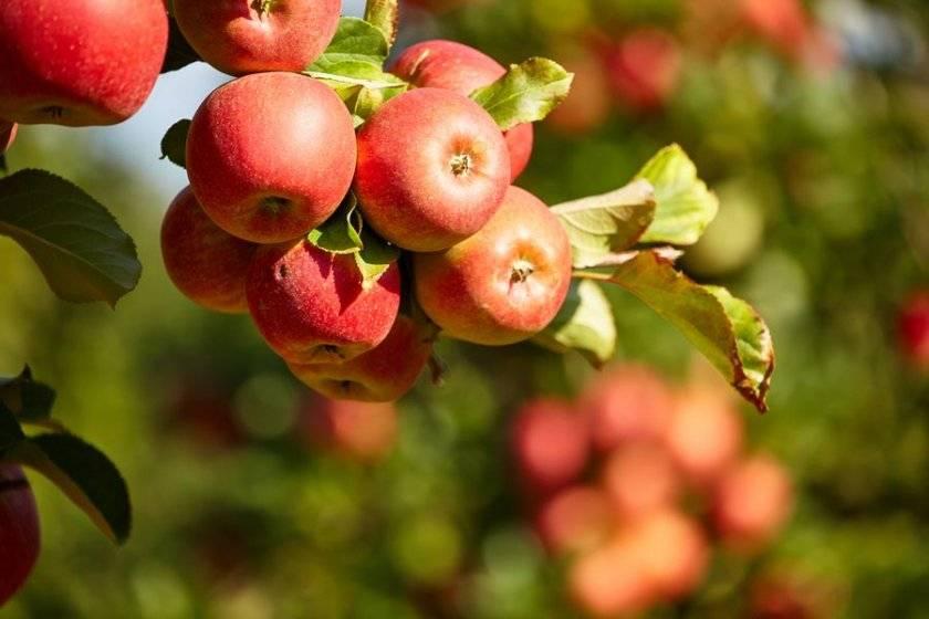 Яблоня услада — украшение сада и прекрасный вкус плодов!