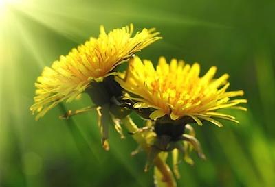 Одуванчик и лопух: корни, которые лечат и очищают