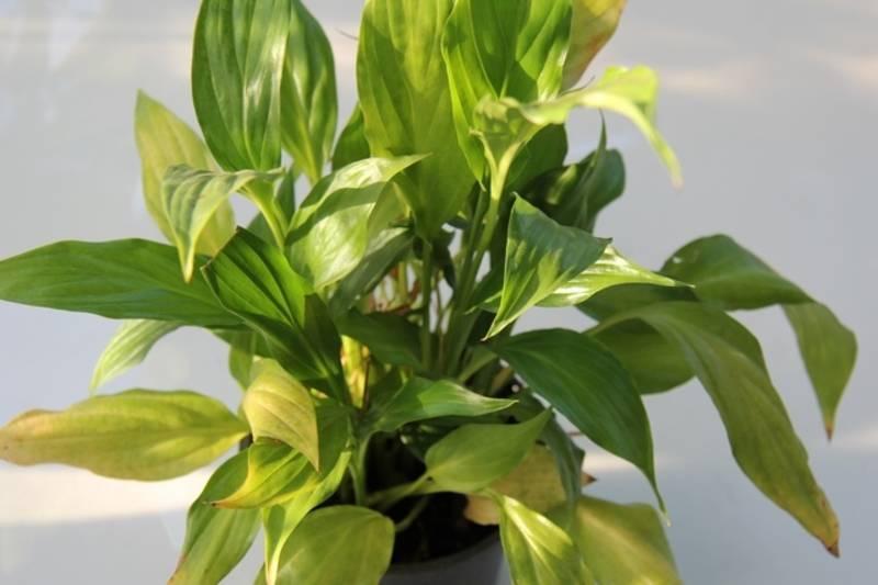 Основные болезни спатифиллума. как их распознать и вылечить цветок?
