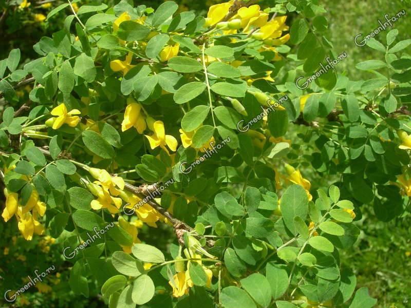 Акация желтая: описание, полезные свойства и использование в народной медицине