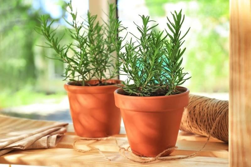 Розмарин в саду и дома — ароматная пряность без особых хлопот