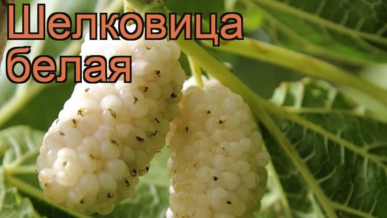 Описание сортов шелковицы с фото и отзывами
