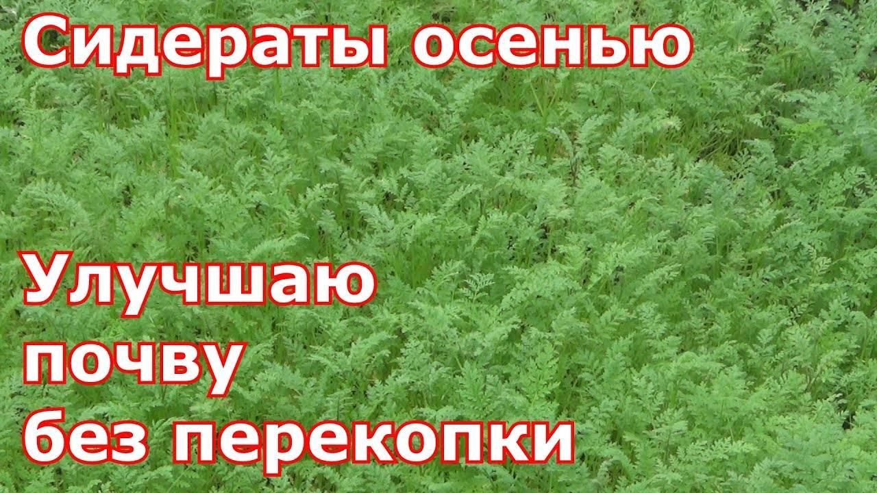 Сидераты: секреты использования зеленых удобрений