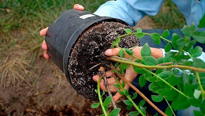 Размножаем спирею зеленым черенкованием