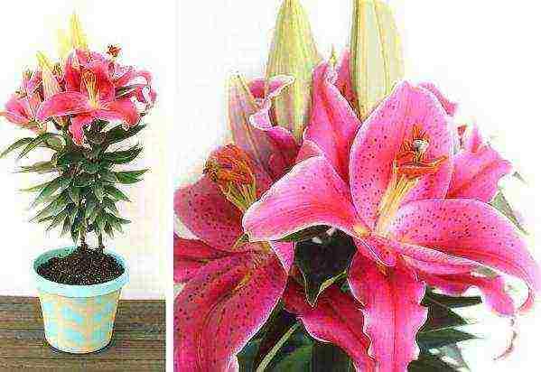 Выращивание комнатных или домашних лилий – от посадки в горшок до хранения после цветения