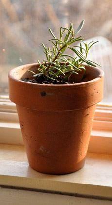Выращиваем розмарин на окне в квартире