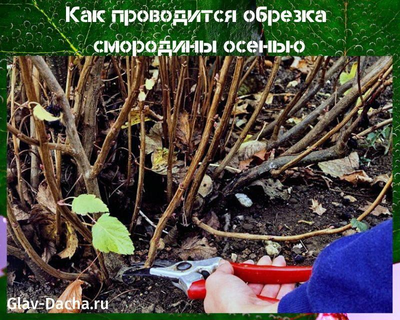 Смородина – уход после сбора урожая в осенний период