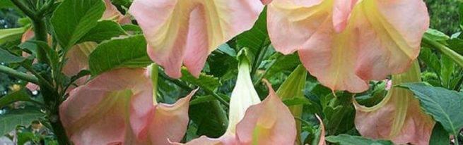 Цветок дурман – красота, аромат и яд