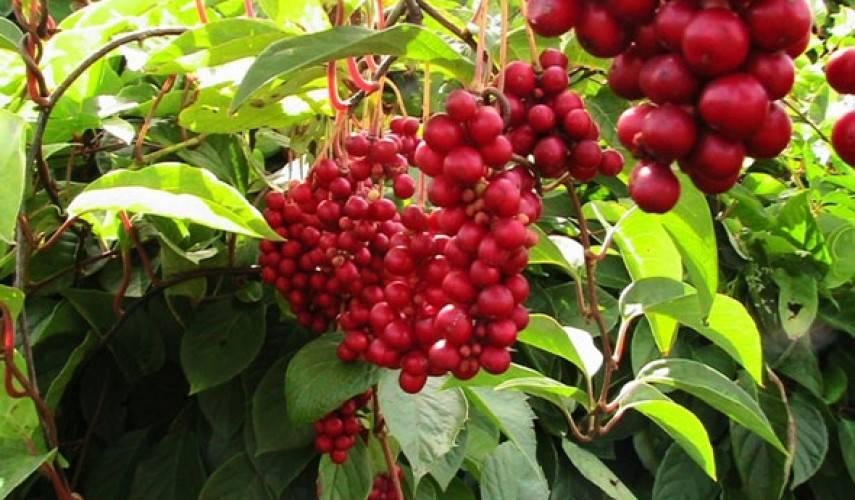 Лимонник китайский: описание растения и рекомендации по уходу