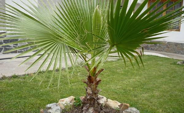 Пальма вашингтония: описание и выращивание