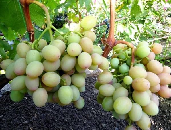 Виноград анюта: описание сорта