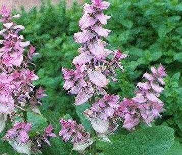 Удивительный шалфей мускатный: полезные свойства и выращивание