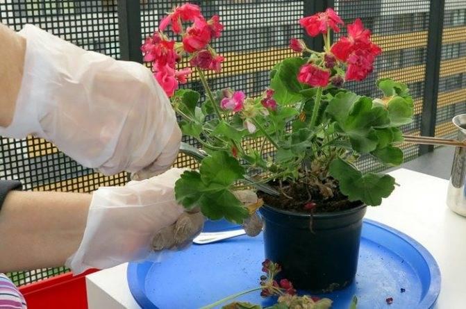 Цветок бегония тигровая (begonia bowerae, бегония бауэра)