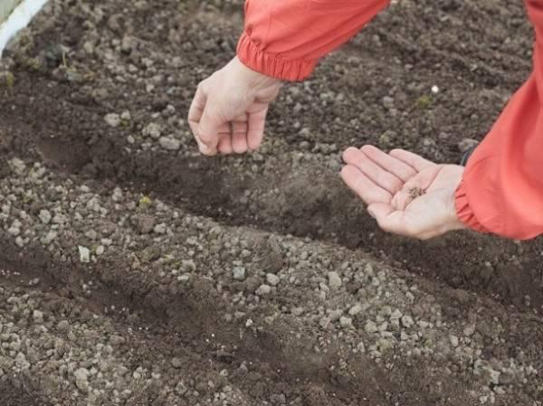 Пастернак как выращивать из семян, как сажать в открытом грунте