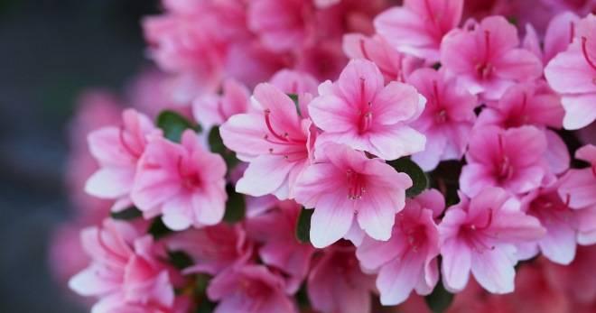 Как ухаживать за цветком азалия в домашних условиях