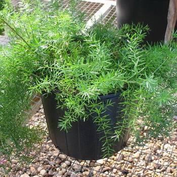 Пышное растение аспарагус перистый: уход за ним в домашних условиях, фото