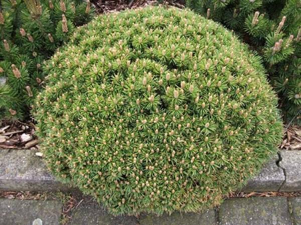 Горная сосна «мугус»: описание, советы по выращиванию и размножению