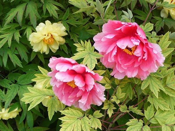 Описание 25 лучших сортов травянистых пионов с фото и названиями