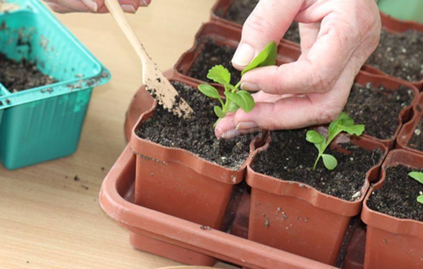 Как посадить астры на рассаду в домашних условиях и в открытый грунт