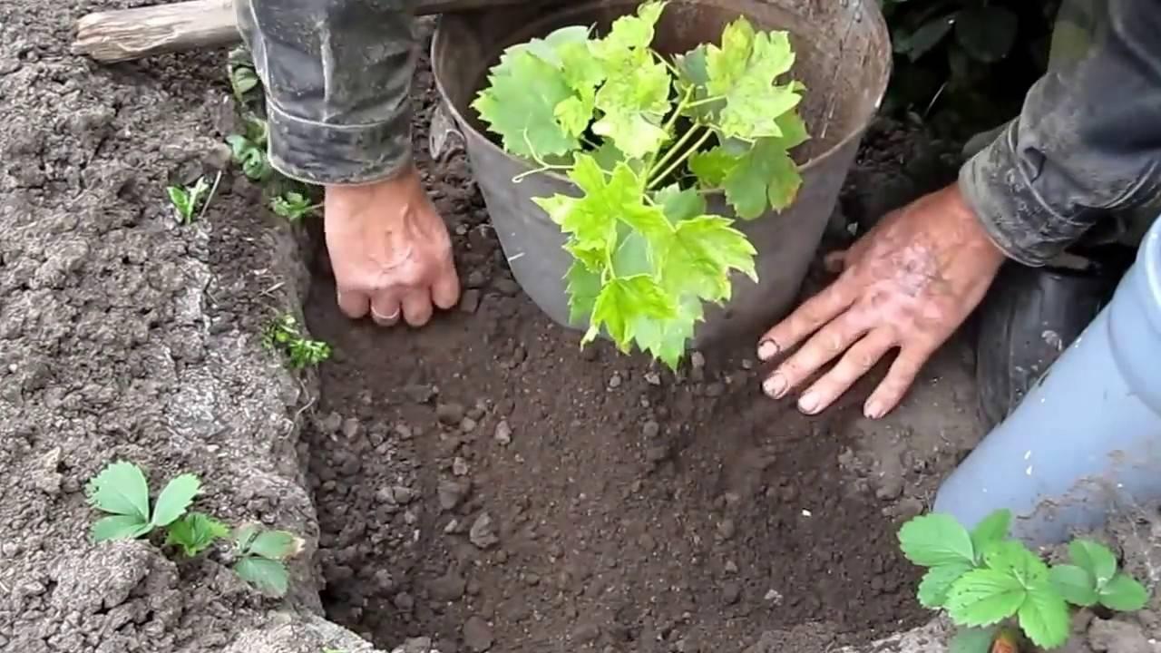 Как выбрать сорт винограда и обеспечить ему уход на урале