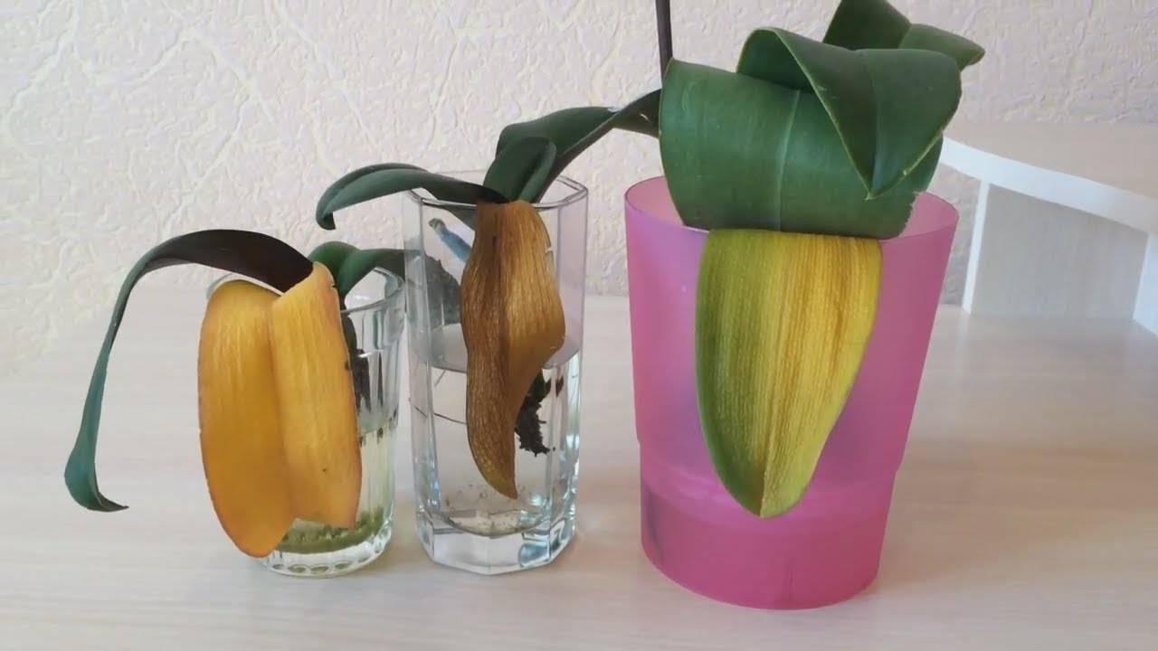 Почему желтеют листья орхидеи? что делать, чтобы спасти цветок?