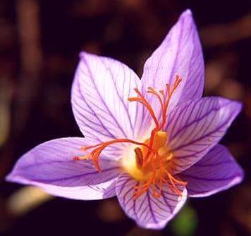 Комнатный цветок крокус в горшках