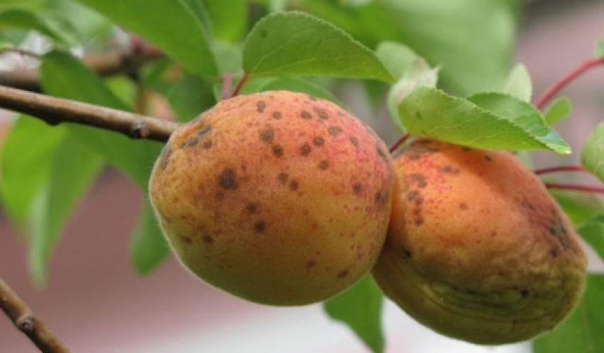 Чем опрыскать персик от тли народными средствами?
