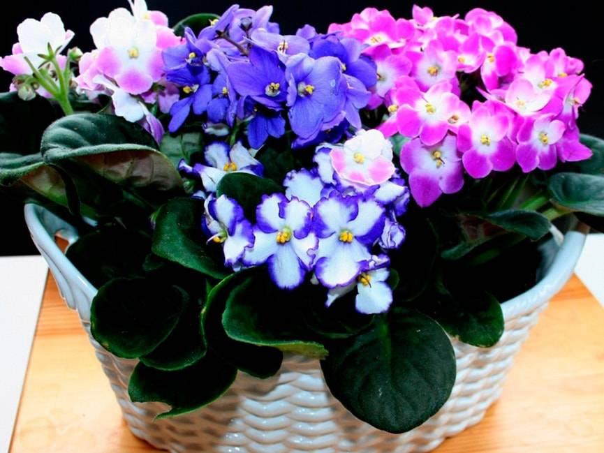 Узнайте, можно ли рассаживать фиалки во время цветения