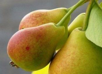 На какой год груша должна плодоносить после посадки?