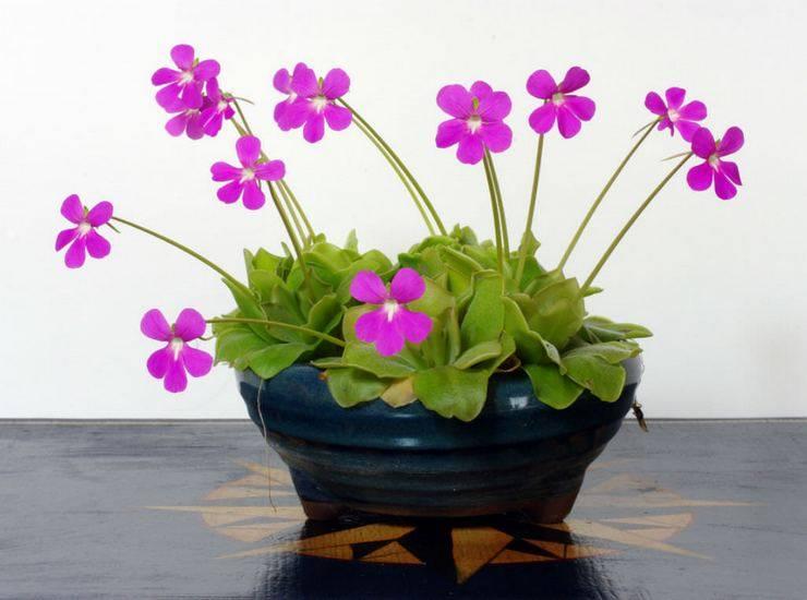 Растения-хищники, которые можно вырастить на подоконнике