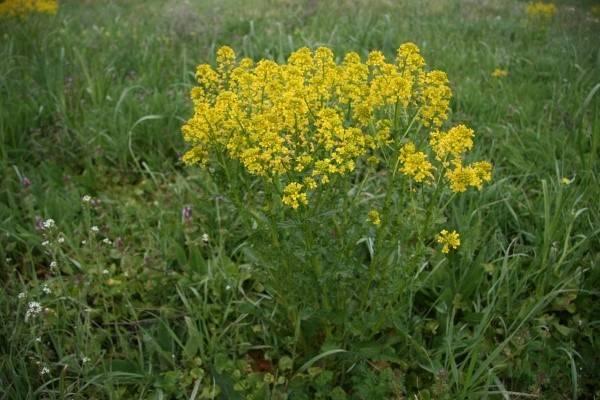 Съедобные травы в вашем саду