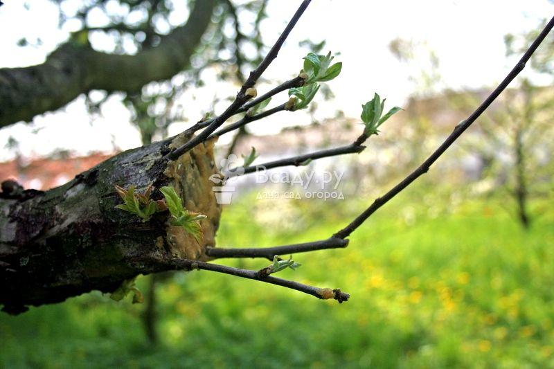 Как привить грушу на яблоню весной