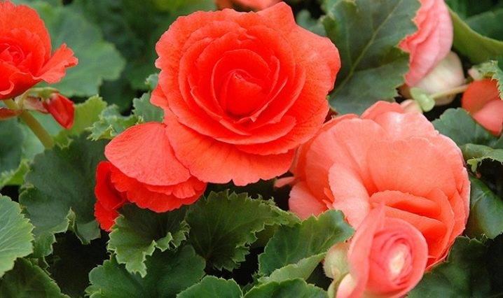 Садовая бегония — нежная красота