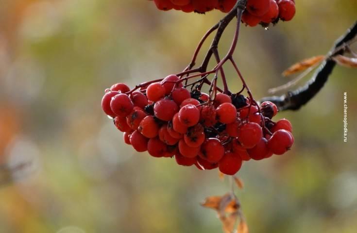 Рябина «гранатная»: характеристика, полезные свойства и рекомендации по выращиванию