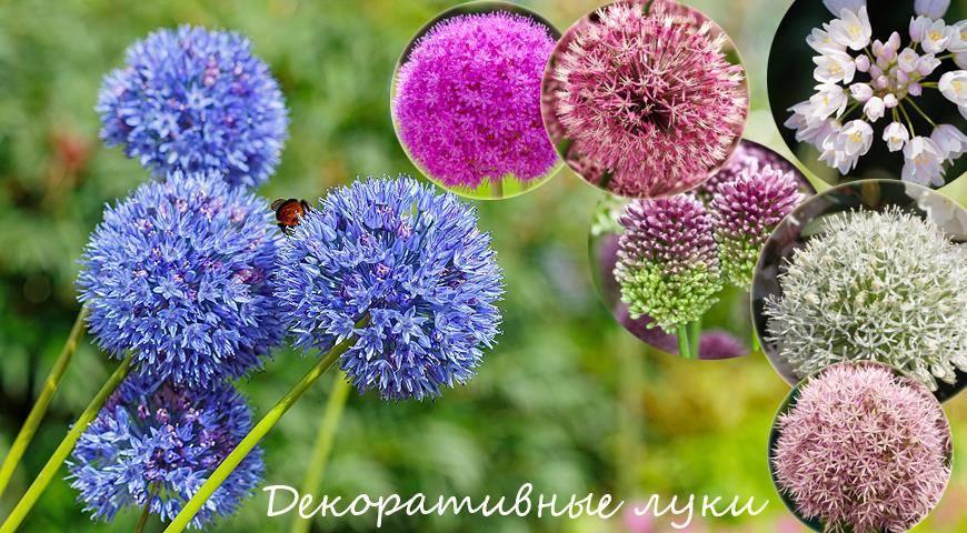 Как вырастить декоративный лук, популярные разновидности