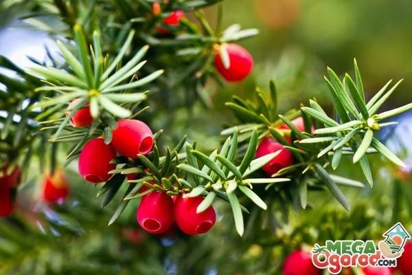 Тис ягодный (красное дерево, зеленица, негниючка) - выращивание. посадка, размножение, уход, морозостойкость. агротехнические технологии