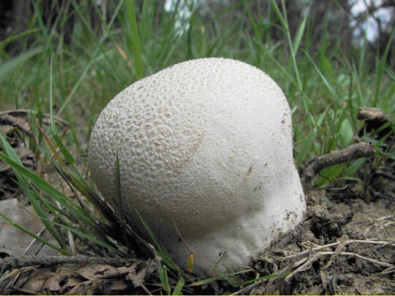 Дождевики жареные. вкусный и полезный гриб дождевик, описание и использование
