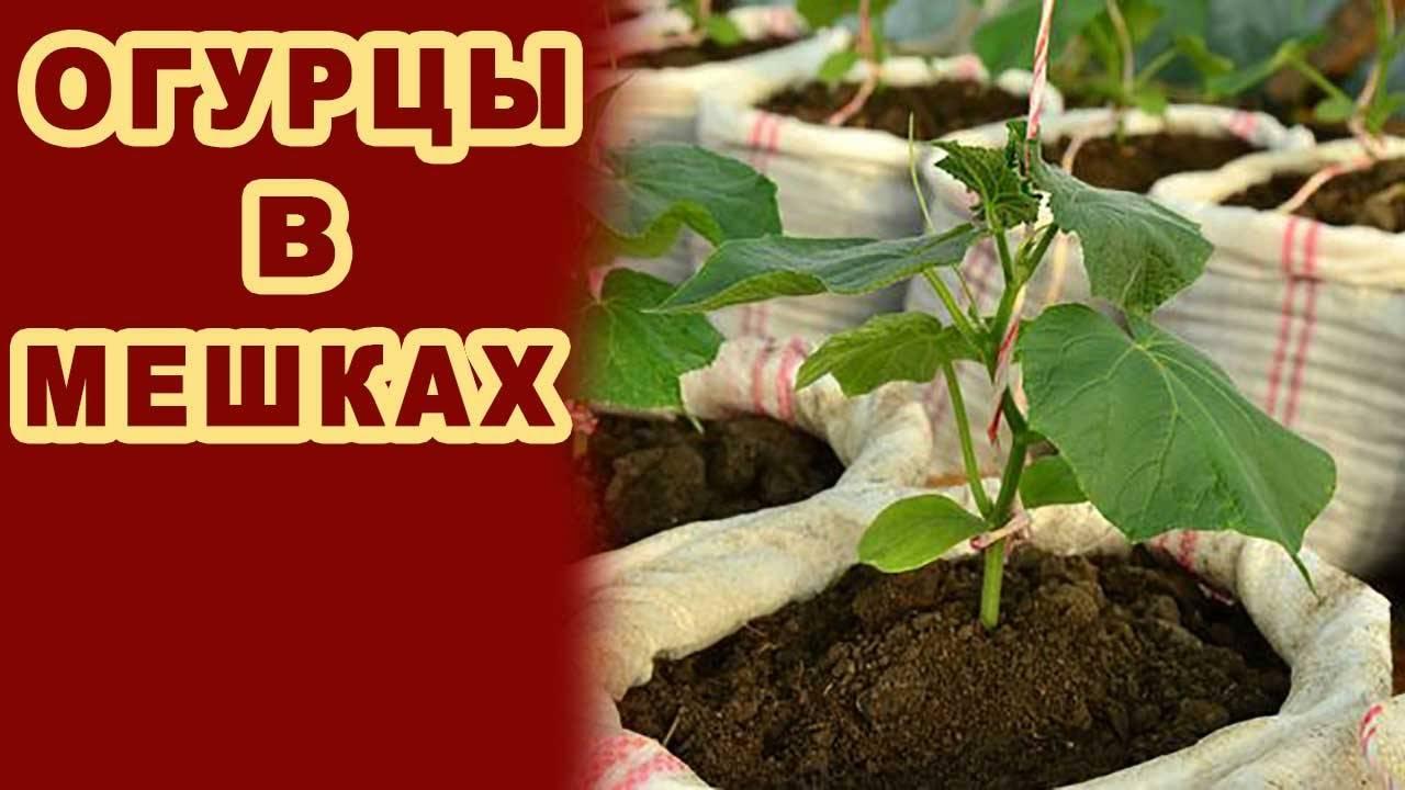 Как посадить и вырастить огурцы в бочке?