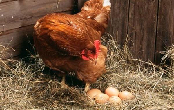 Все самое интересное о яйценоскости кур