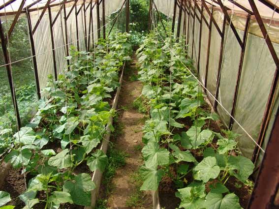 Выращивание огурцов на подоконнике: как сажать и ухаживать за посадками